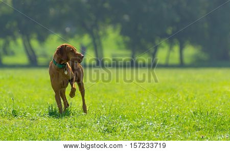 Hungarian Vizsla Standing Gracefully in City Park and Pointing in a Grassy Field