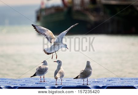 Seagull Before Landing on Plastic Swimming Pier