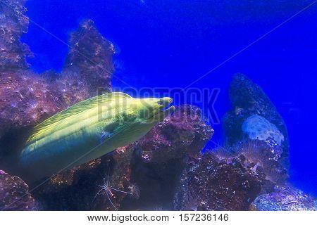 Green moray moray exiting rock close up view