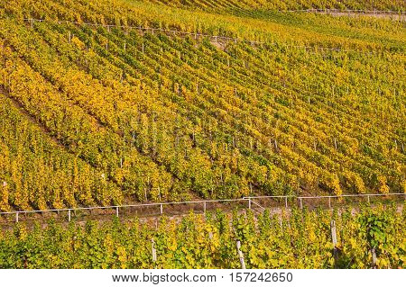 Vineyards At The Moselle In Germany