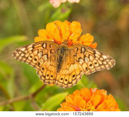Dorsal view of a Variegated Fritillary butterfly feeding on an orange Zinnia flower
