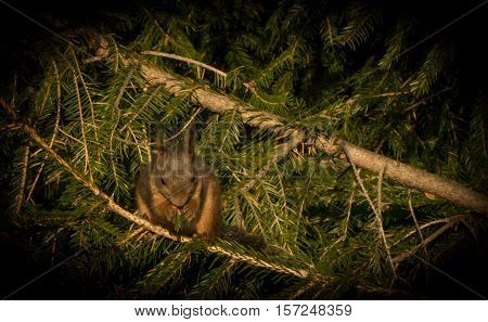 A squirrel is sitting in a spruce eating.
