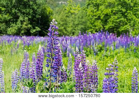 Field of Lupines at Acadia National Park Maine