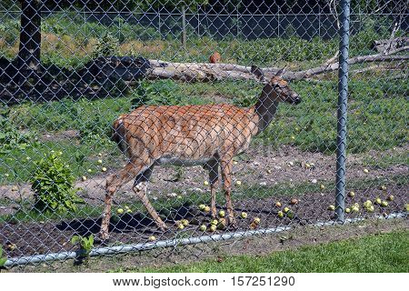 A whitetail deer (Odocoileus virginianus) standing next to the chain link fence in the Deer Park of Harbor Springs, Michigan during August.