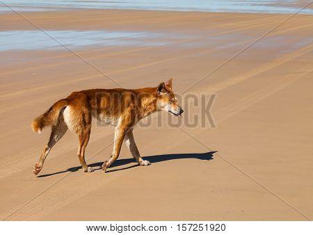 dingo is a wild dog found in Australia. endangered