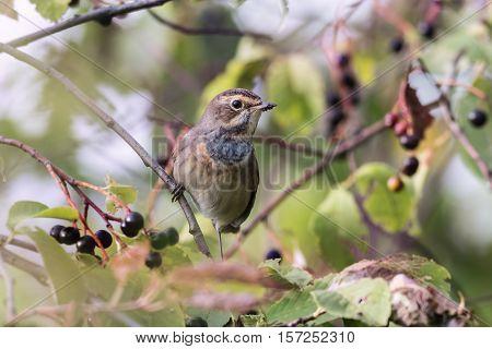 bluethroat (Luscinia svecica) sitting on a branch of bird cherry