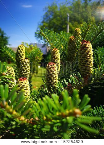 Close up of green pine cone on the tree