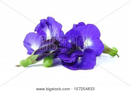 Blue pea butterfly pea close up on white
