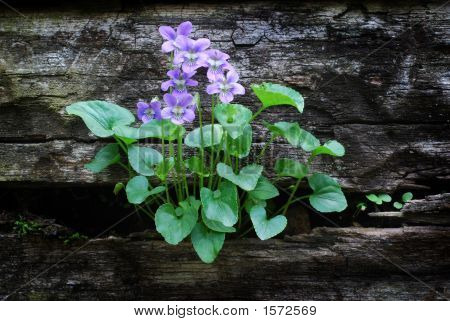 Common Blue Violets Growing out of an aging landscape wall poster