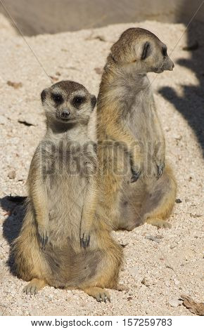 Photo of Funny cuple of funny meerkat