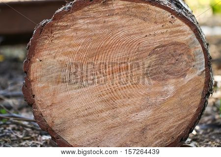 Cut of old trunk. The core of tree consist of growth rings and deep cracks.