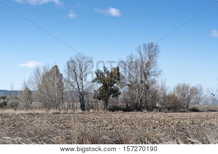 Poplar grove in winter in a rural landscape in Ciudad Real Province Spain