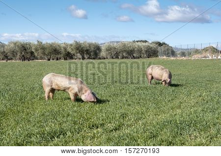 Two pigs grazing in field. Picture taken in Ciudad Real Province Spain