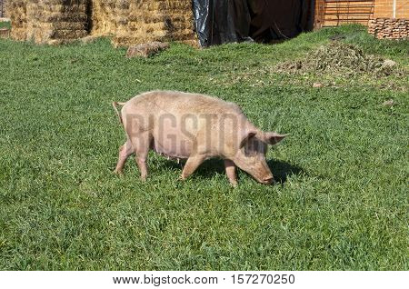 Pig grazing in field. Picture taken in Ciudad Real Province Spain