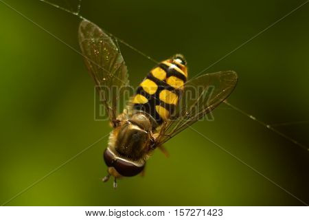 Hoverfly On The Web