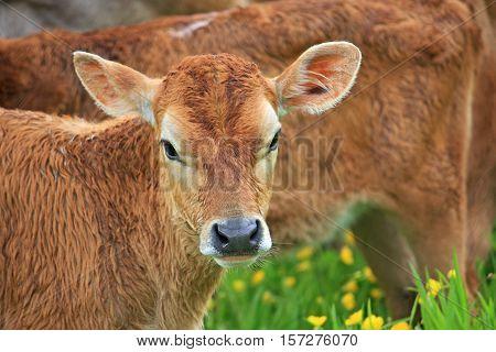 Calf standing in a field of buttercups