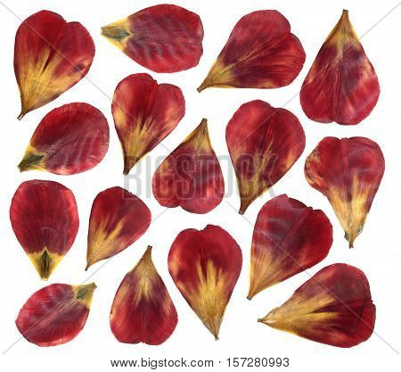 Dried and pressed petals of tulip flower. Isolated on white background. For use in scrapbooking or herbarium. Red and yellow petals.