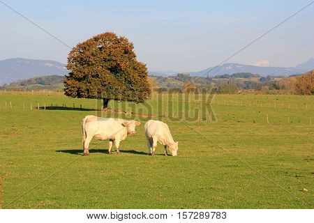 Two white cows grazing on the field