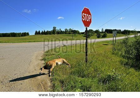 A deer lying at a highway is a result of roadkill.