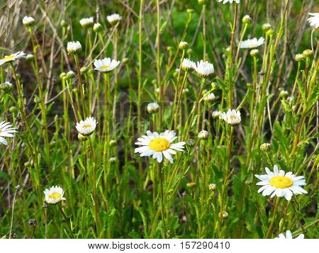 It is spring and the marguerites are blooming.