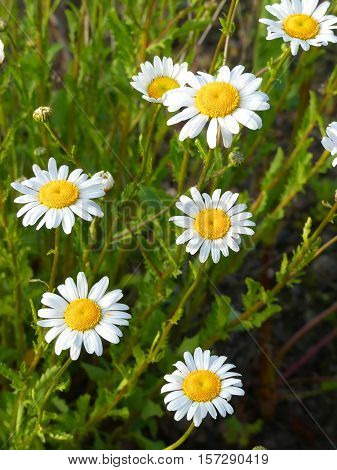 It is spring and the marguerites look very fresh.