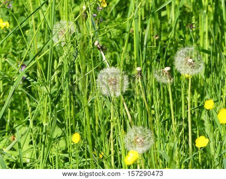 It is spring. The dandelions are ripe.