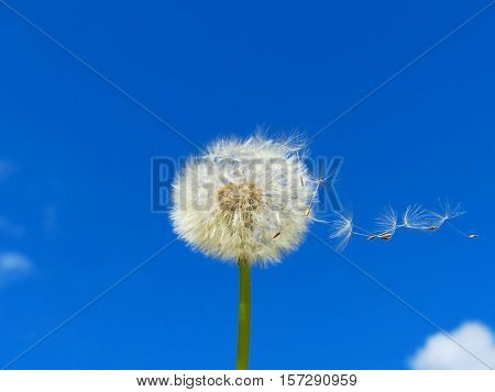 The dandelion is ripe. The pappus is flying.