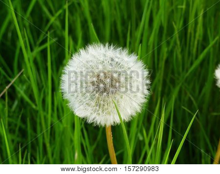 It is spring and the mature dandelion looks pretty.
