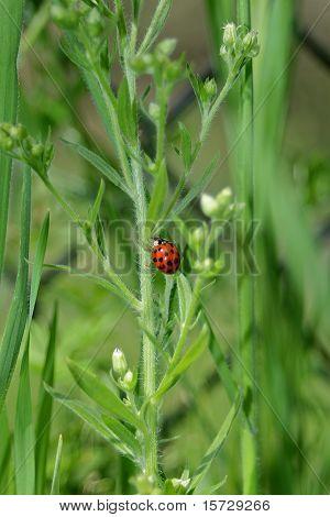 Spring Ladybug