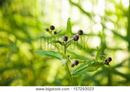 Sprout of thistle like plant with unopened purple flower buds on a blurry bright green background