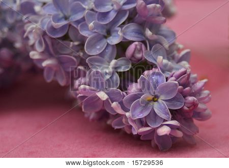 Purple and pink lilac blossom