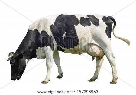 Funny cute cow isolated on white. Talking black and white cow. Funny curious cow. Farm animals. Cow, standing full-length in front of white background, Pet cow on white.