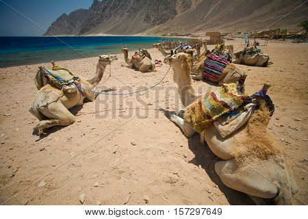Camels resting. Dahab Blue Hole area, Egypt, the Red Sea.