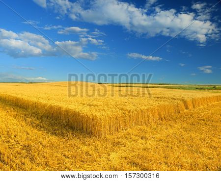 Wheat field against a blue sky