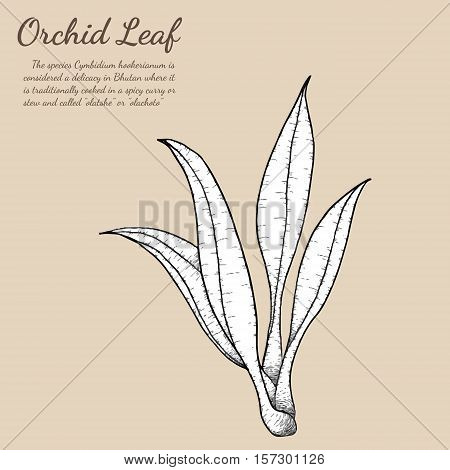 Cymbidium Orchids leaf vector on white background.Cymbidium Orchids leaf by hand drawing.