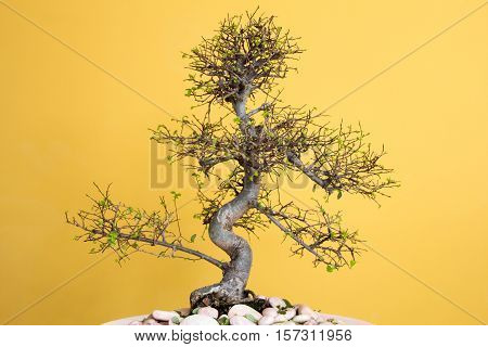 art form using trees - green lush Bonsai Ulmus parvifolia - grow new leaves in spring First picture of four