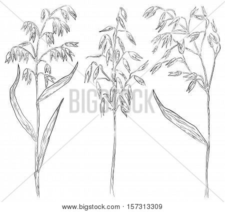 Oat oats cereal grain crop oatmeal spike ear. Vector beautiful botany harvest set collection agriculture sign signboard side view close-up illustration black outline graphic isolated white background