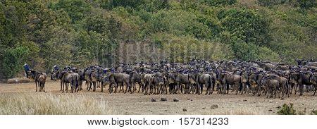 herd of white bearded wildebeest (Connochaetes tuarinus mearnsi) Masai Mara National Reserve Kenya