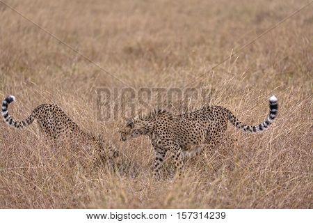 Group of cheetah feasting on impala kill Masai Mara National Reserve Kenya East Africa