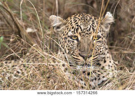 Leopard close-up Masai Mara National Reserve Kenya Eastern Africa