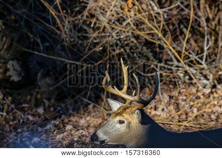 Close-up photo of a live deer rack.