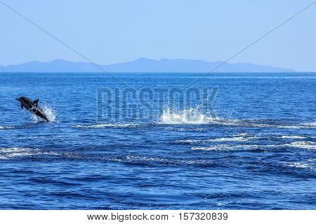 One Dolphin jumping in the sea. Isla Espiritu Santo near La Paz, in Baja California.