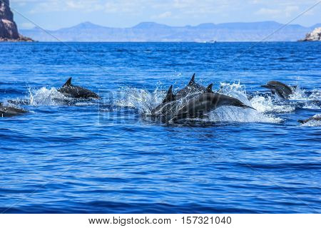 Several dolphins jumping and swimming off the coast of La Paz and close to Isla Espiritu Santo in Baja California, Mexico.