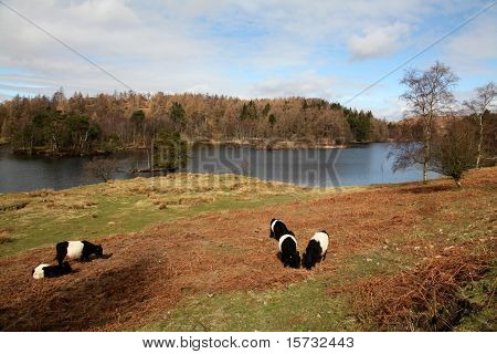 Belted Galloway Cattle At Tarn Howe