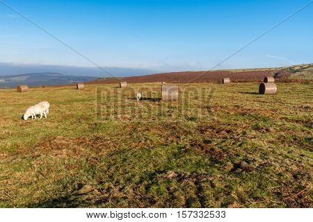 View from Hay Bluff with grazing sheep. Near Hay on Wye Powys Wales United Kingdom.