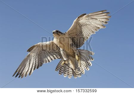 Peregrine Falcon (falco peregrinus) flying in a desert near Dubai UAE