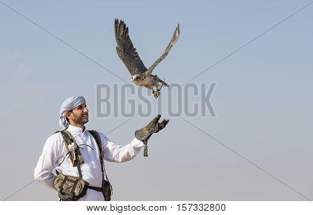 Dubai UAE November 19th 2016: A falconer in traditional outfit training a Peregrine Falcon (Falco Peregrinus)
