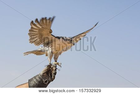 Peregrine Falcon (Falco Peregrinus) about to take off