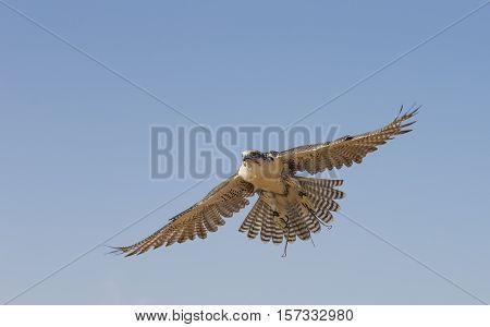 Peregrine Falcon (Falco Peregrinus) flying in a desert near Dubai