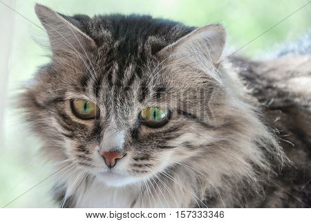 Portrait of the severe cat looks bleak close-up